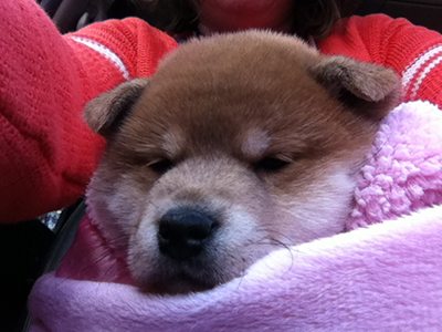 How much is a Shiba puppy?